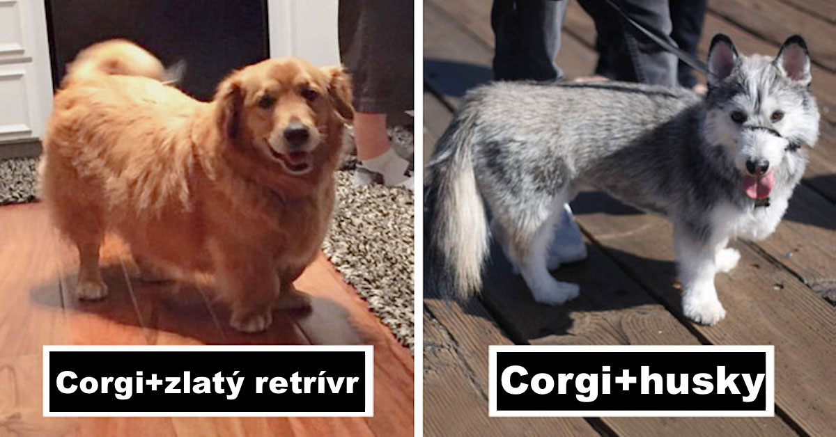 Corgi 20x jinak, výsledky jsou psůžasné