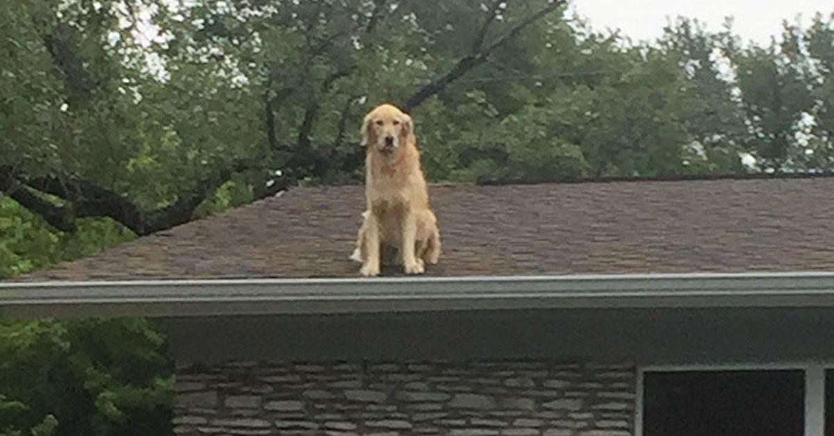 Rodina podává vysvětlení, proč jejich pes tráví čas na střeše. Ze zlatého retrívra se stala internetová hvězda…