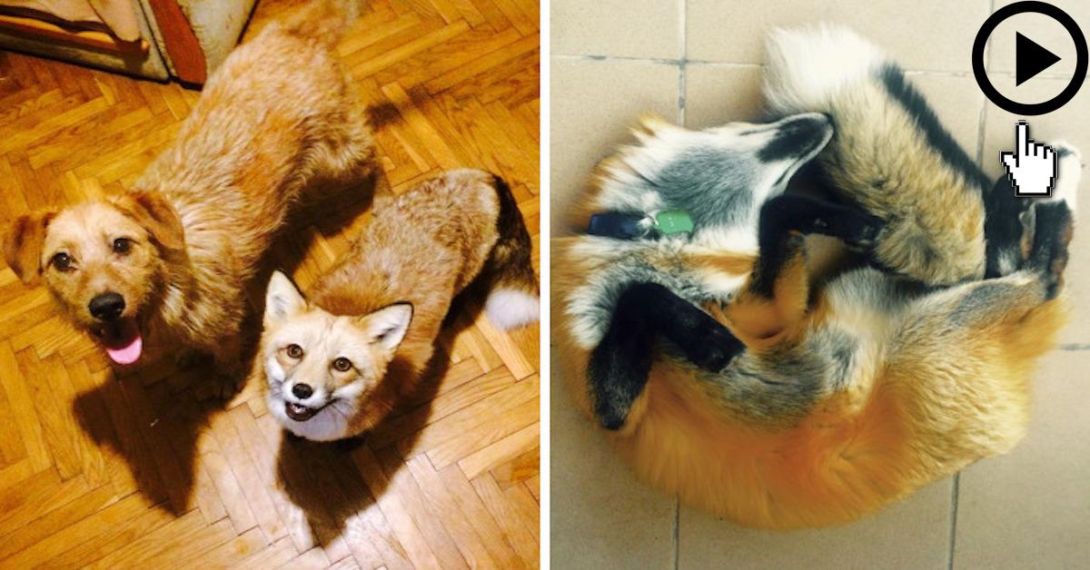 Po záchraně lišky z kožešinové farmy se rozhodli, že potřebuje nového přítele
