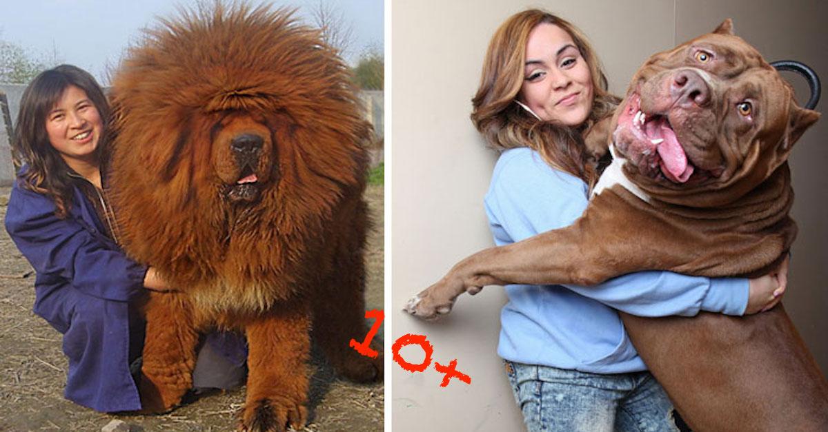 10+ obrovských psů, kteří si nepřipouští svou velikost