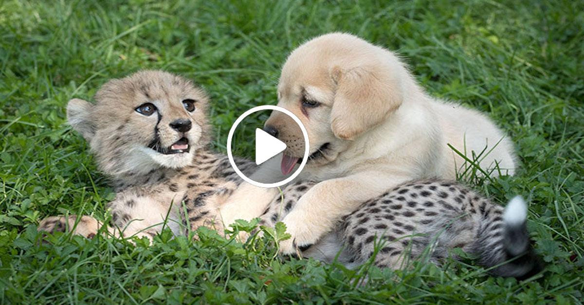 Psi pomáhají přežít gepardům, protože se příliš stydí