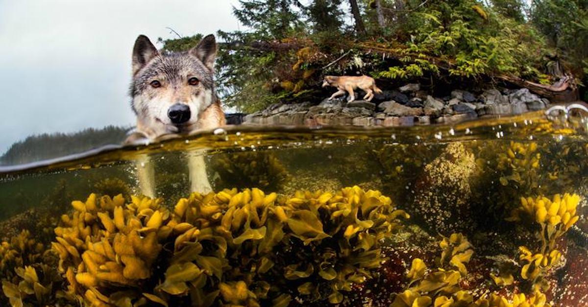 Tohle je vzácný mořský vlk, který v moři plave hodiny každý den