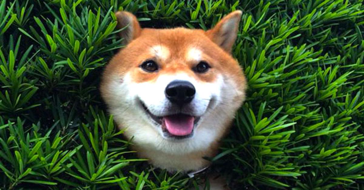 Shiba inu uvízla v živém plotu a předstírala, že je vše v pořádku