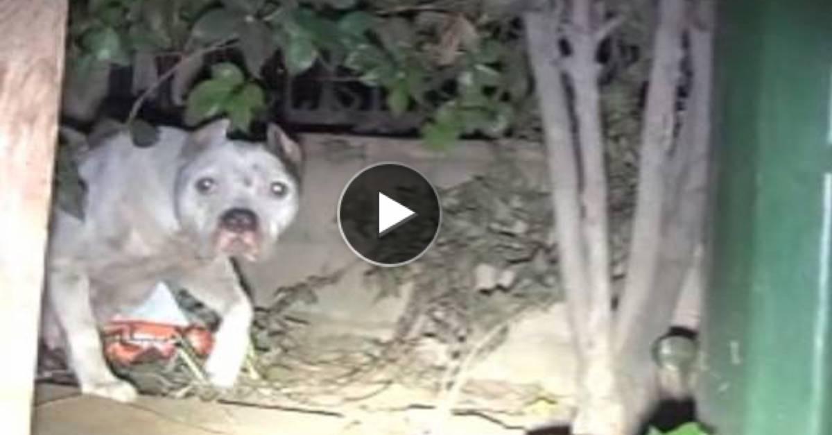 Záchranná akce: Fenka pitbula z ulice vrhla štěňata, a navíc měla v žaludku nebezpečný předmět
