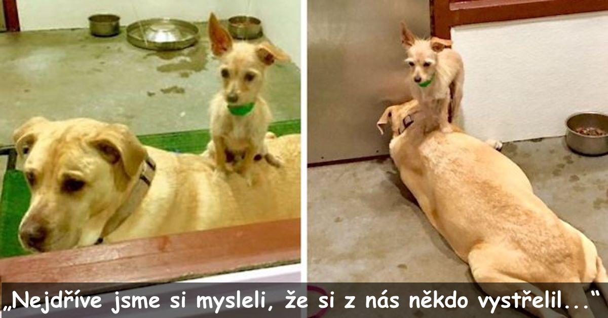 Pes v útulku je stále přilepený na svého většího parťáka, aby se ujistil, že je adoptují společně