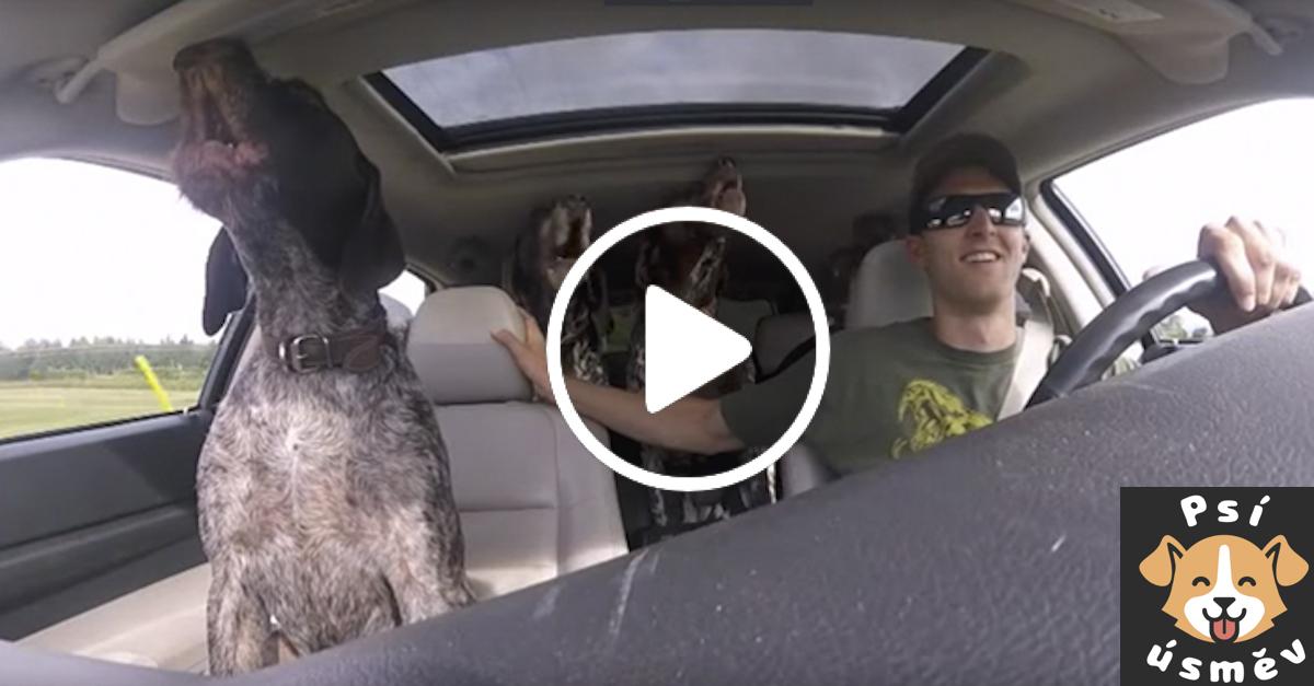 Psí smečka v autě zešílela, když psi zjistili, že míří do psího parku