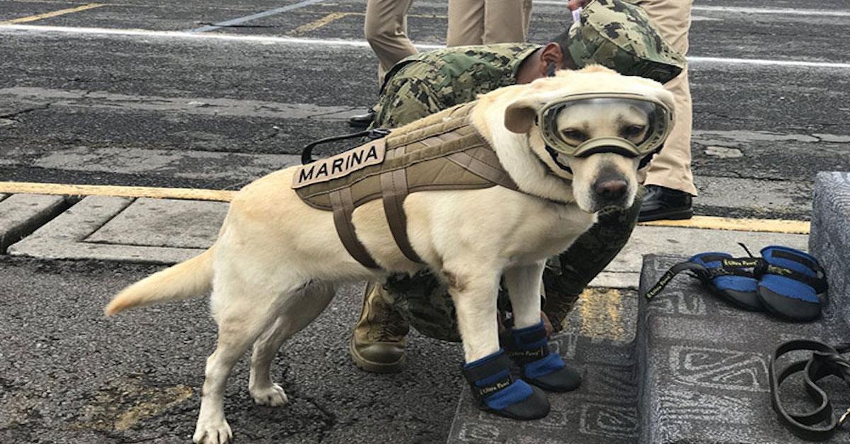 """""""Pes drsňák:"""" Zachránil 52 lidí a nyní hledá přeživší po zemětřesení v Mexiku"""