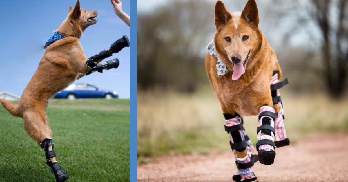 První pes na světě, který má 4 protézy na všech končetinách