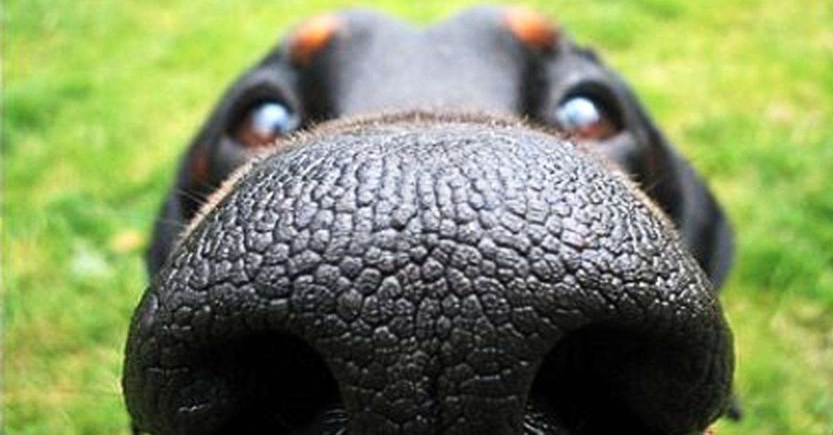 Co to znamená, když má pes suchý nos?