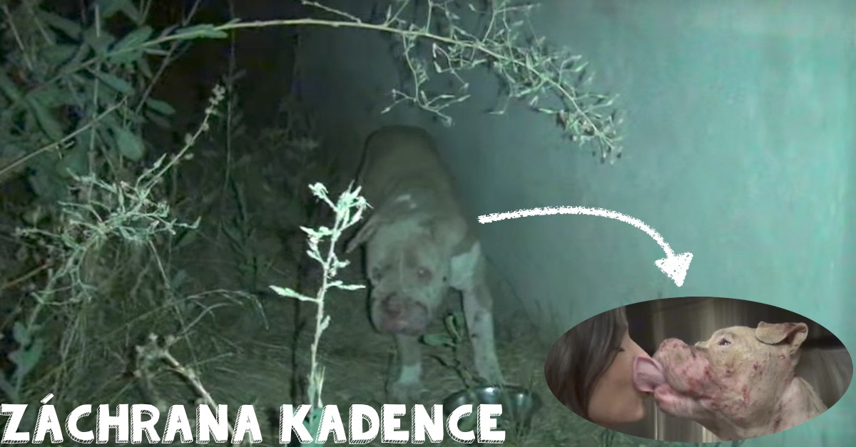 Záchrana Kadence: Fenka pitbula, která dokazuje smysl druhé šance