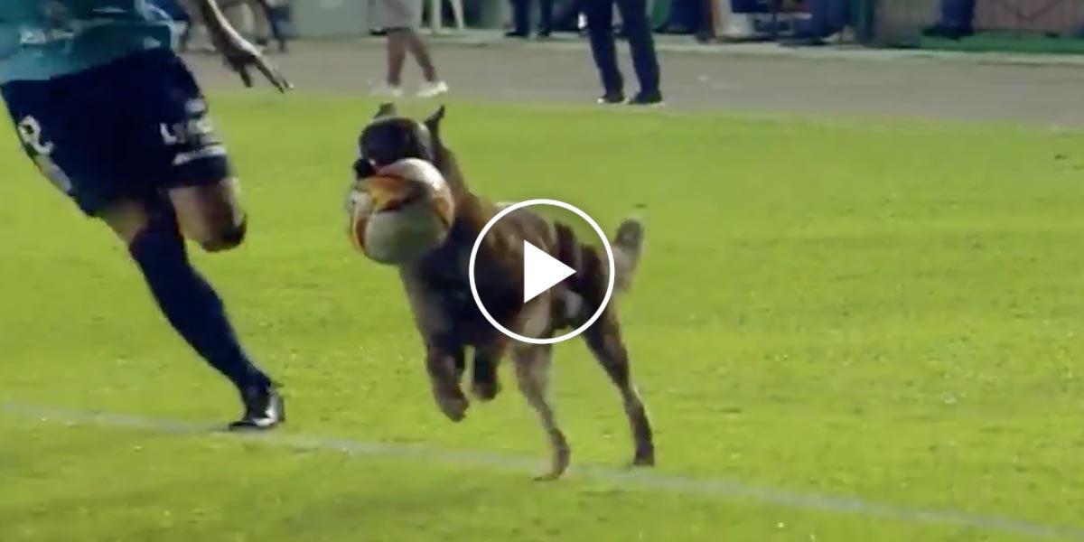 Policejního psa už nebavilo sledovat fotbal z pozice diváka…