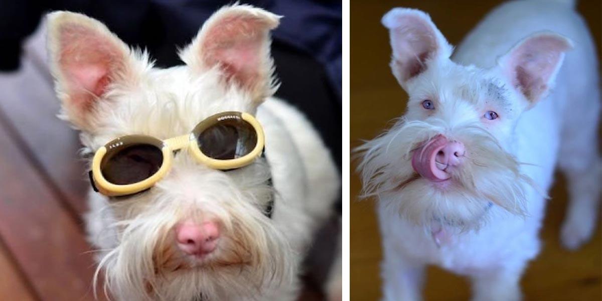 Štěně albína nosí sluneční brýle, aby přežilo