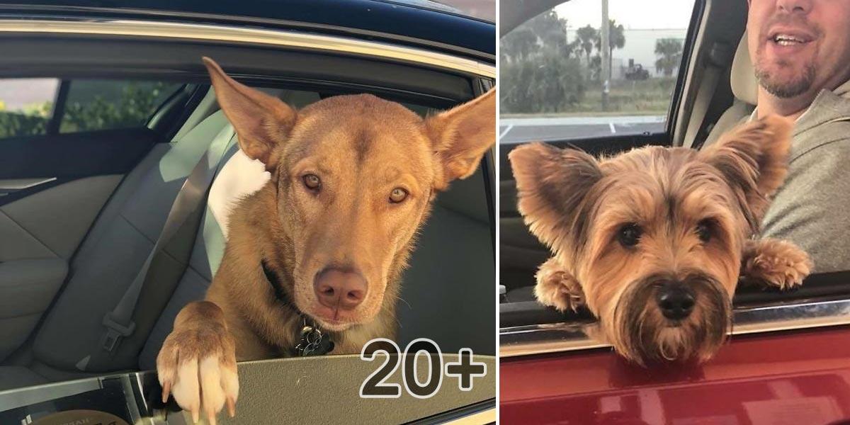 Zaměstnankyně rychlého občerstvení fotí psí mazlíčky projíždějící kolem drive-thru okénka, jejich výrazy mluví za vše