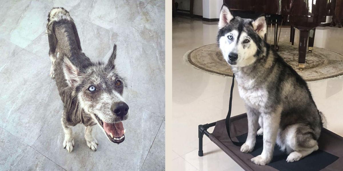 Zachráněný husky si prošel neuvěřitelnou proměnou, nevěříme, že jde o stejného psa