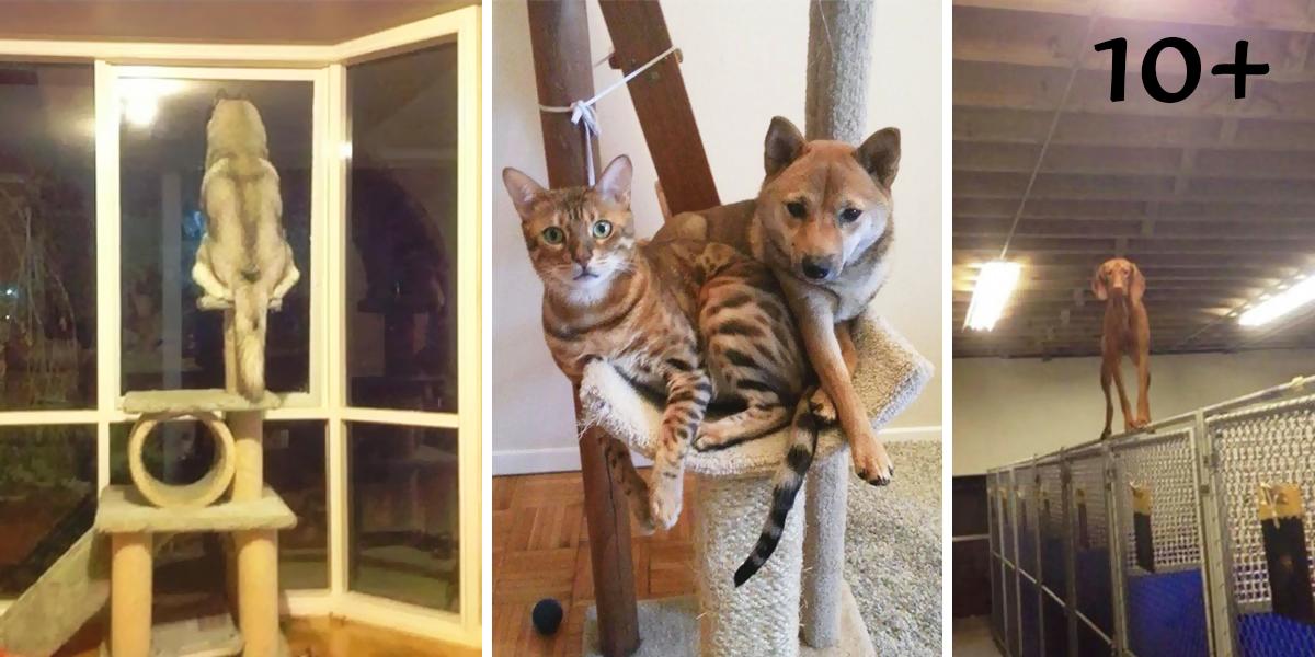 10+ psů, kteří si myslí, že jsou kočky