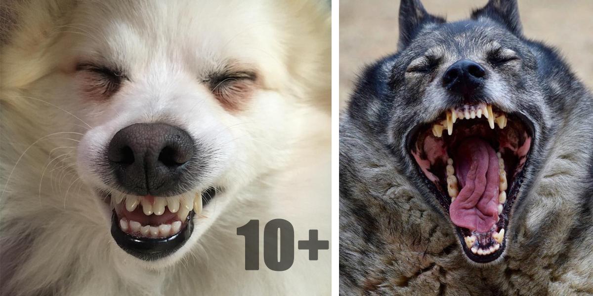 Soutěž o nejkouzelnější psí úsměv (10+ obrázků) ♥