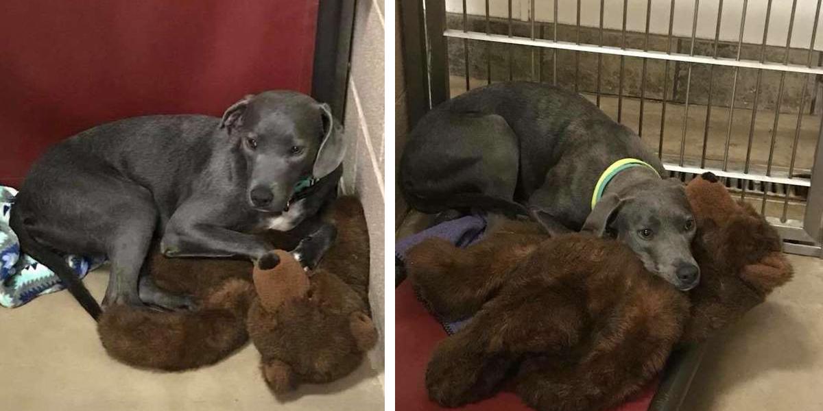 Roční fenku odložila rodina do útulku i s medvídkem
