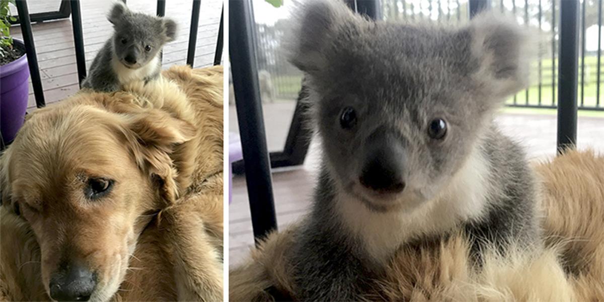 Tenhle zlatý retrívr překvapil svou rodinu. Zachránil mládě koaly!