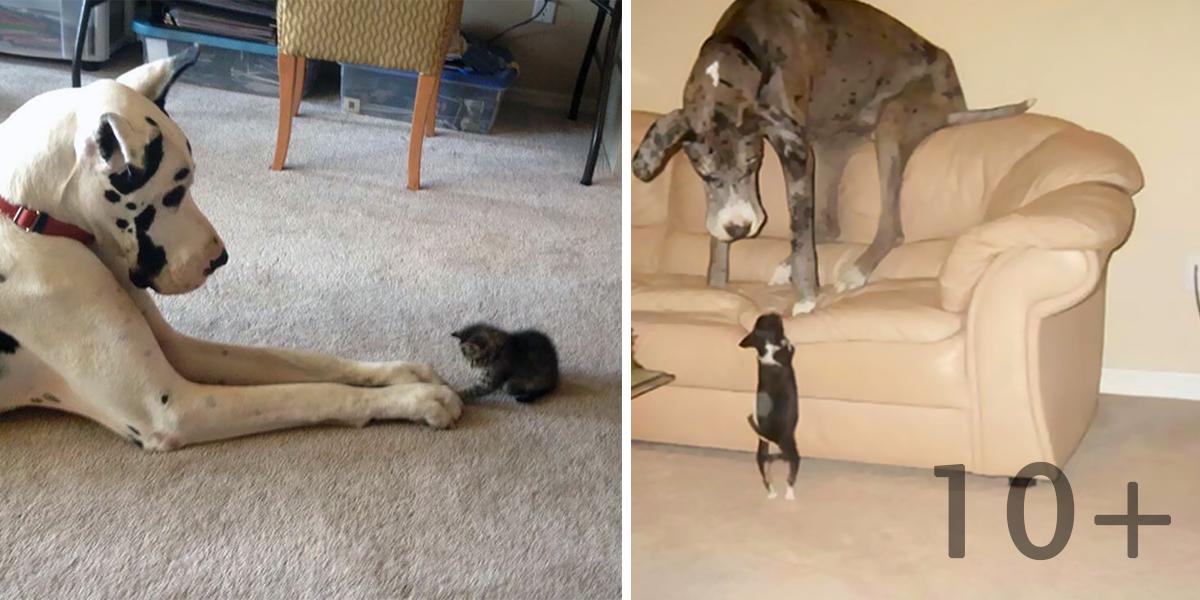 Majitelé německé dogy sdílí své zážitky, jsou to neuvěřitelní obři! (10+ obrázků)