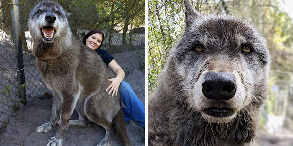Adoptovala vlka z útulku, kde mu hrozila eutanázie. Ale zjistila, že nutně potřebuje pomoc…