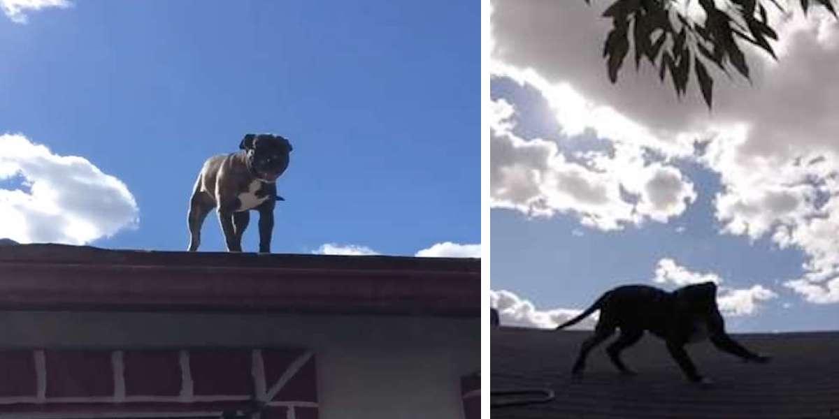 Štěně pitbula uvízlo na střeše, ze záchranářů mělo obrovskou radost