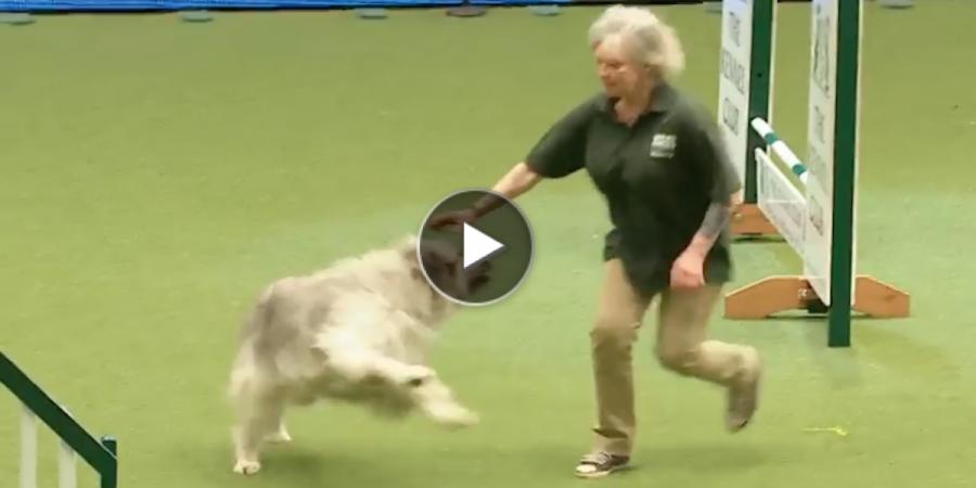 Velké psí trdlo pokazilo agility tím nejkrásnějším způsobem