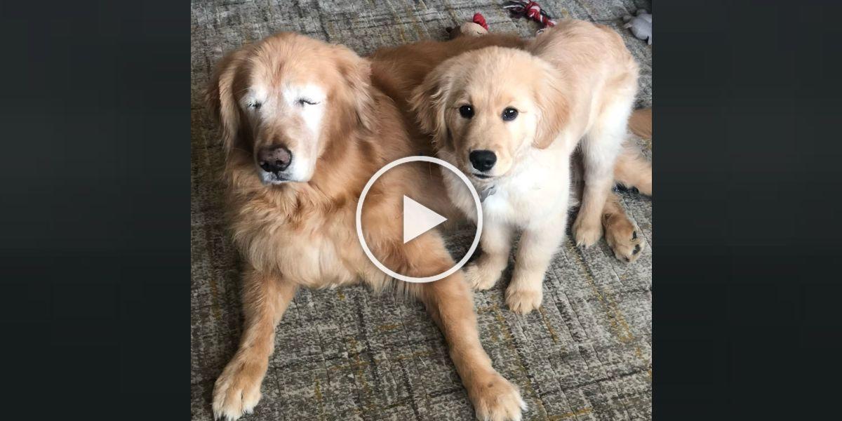 Slepý zlatý retrívr dostal štěně - pomocníka a dopadlo to tak skvěle, jak si myslíte