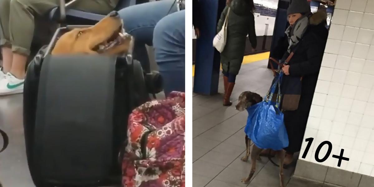 Zakázali psům vstup do metra s výjimkou těch, co se vejdou do tašky… (10+ obrázků)