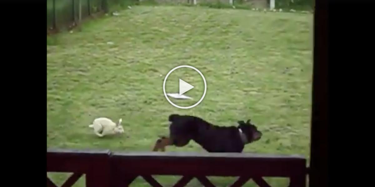 K rotvajlerovi na zahradu přiběhl zajíc, rotvajler málem nestačil utéct