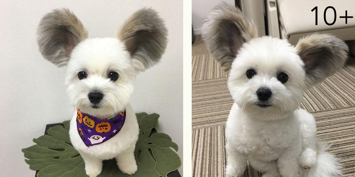 Úžasné štěně s ušima od Mickey Mouse, jeho obrázky Vám zaručeně zlepší den!