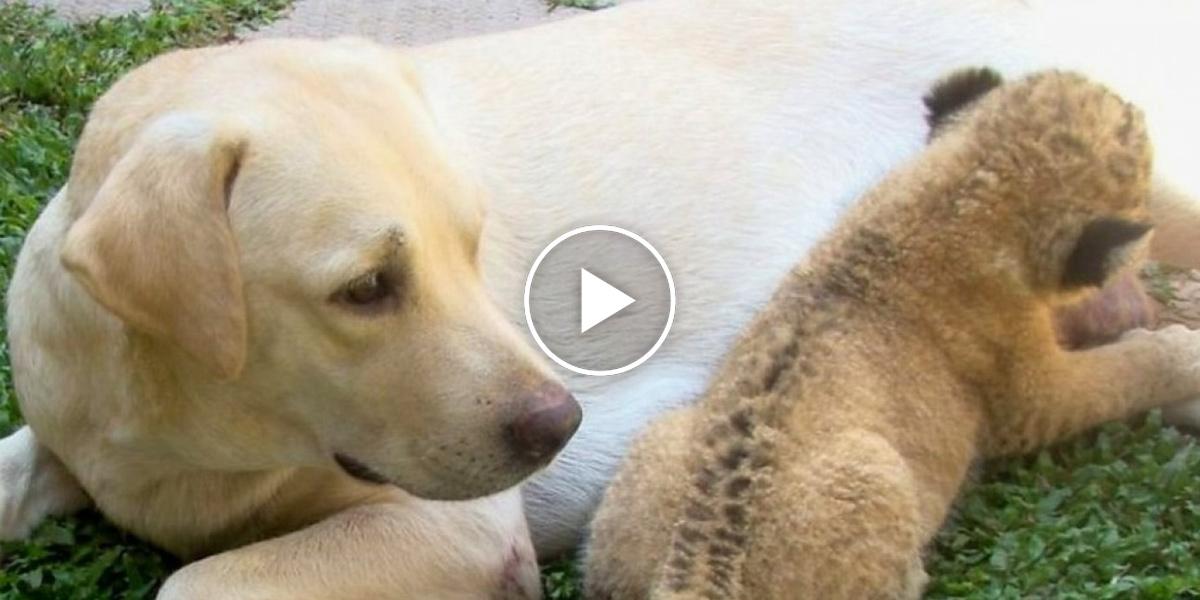 Mateřská láska: Fenka labradora adoptovala lvíče