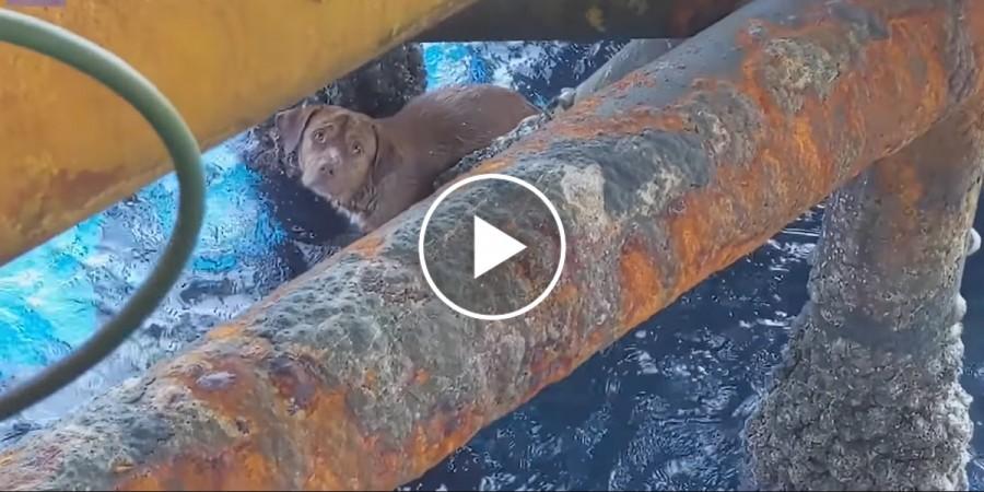 Pes plaval 209 kilometrů od břehu k ropné plošině, jeden z těžařů ho adoptoval