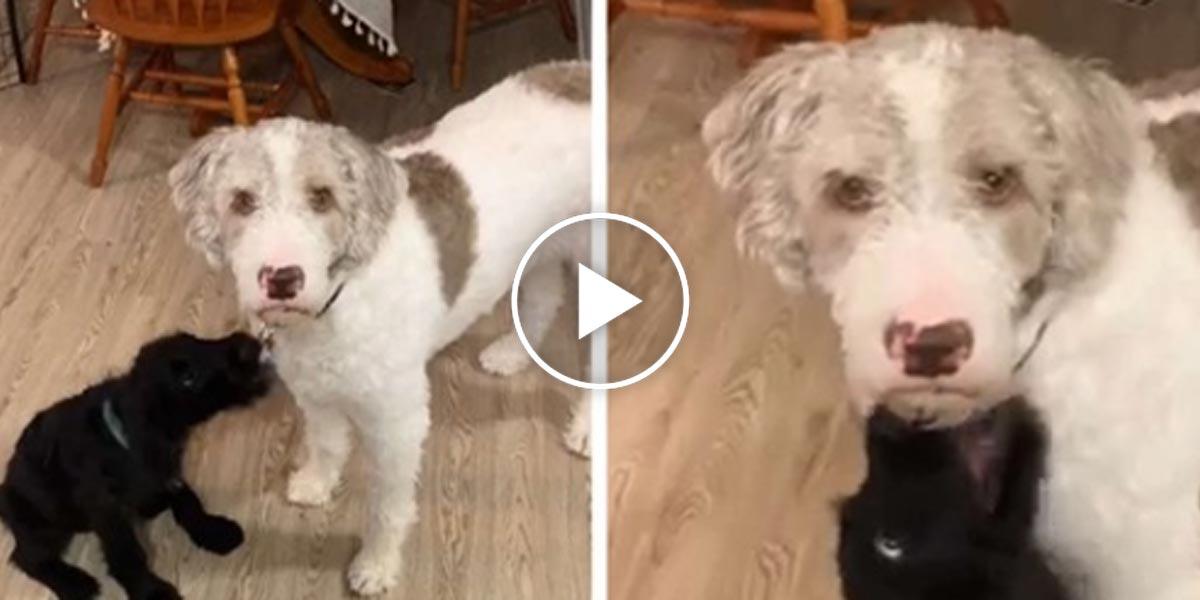 Pes nevěřil, že jeho rodina pořídila nové štěně, aniž by se ho zeptala...