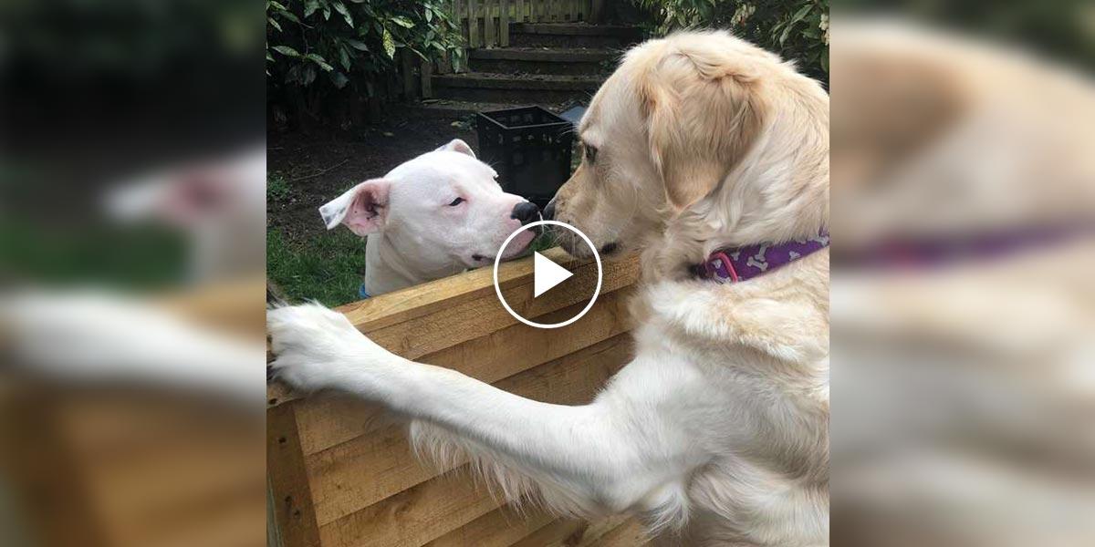 Fenka zlatého retrívra se zamilovala do souseda a samozřejmě jde o typickou psí pohádku...