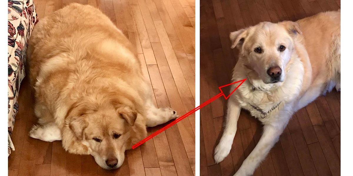 ******** majitel psa přivedl na eutanázii kvůli nadváze. Veterinář mu našel nový domov