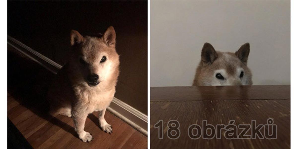 Shiba-Inu, která vždy vypadá jako zabiják (18 obrázků)