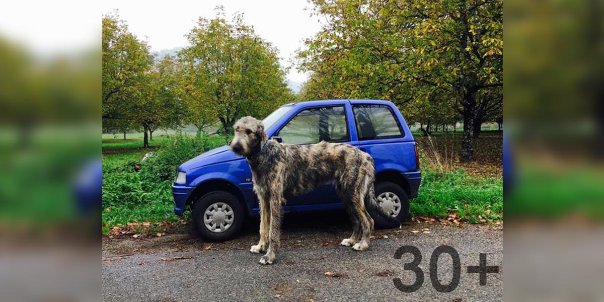 Lidé sdílí zážitky s irským vlkodavem (30+ nových obrázků!)