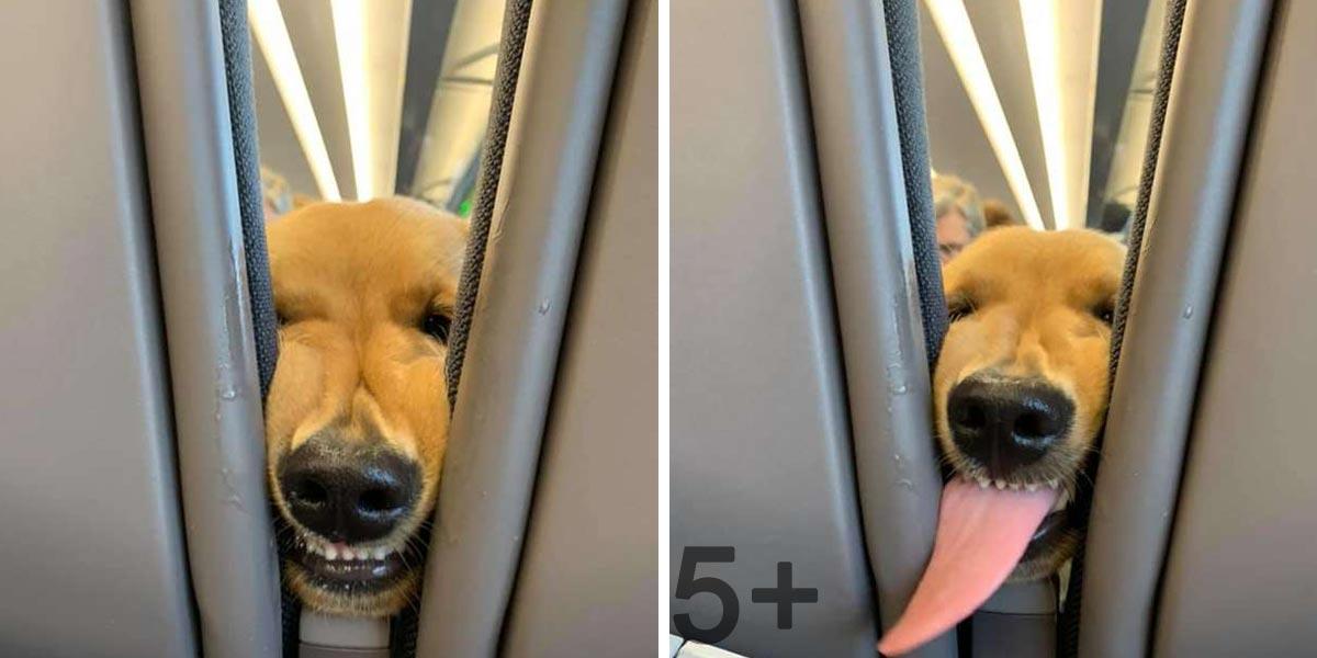 Tenhle zlatý retrívr přesně ví, jak zabavit cestující při dálkovém letu