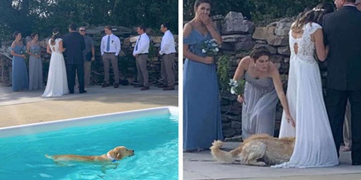 Zlatý retrívr skočil během svatby do bazénu, pak si našel originální místo na osušení...