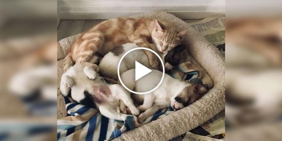 Tahle kočka adoptovala osiřelá štěňata, chrání je jako vlastní