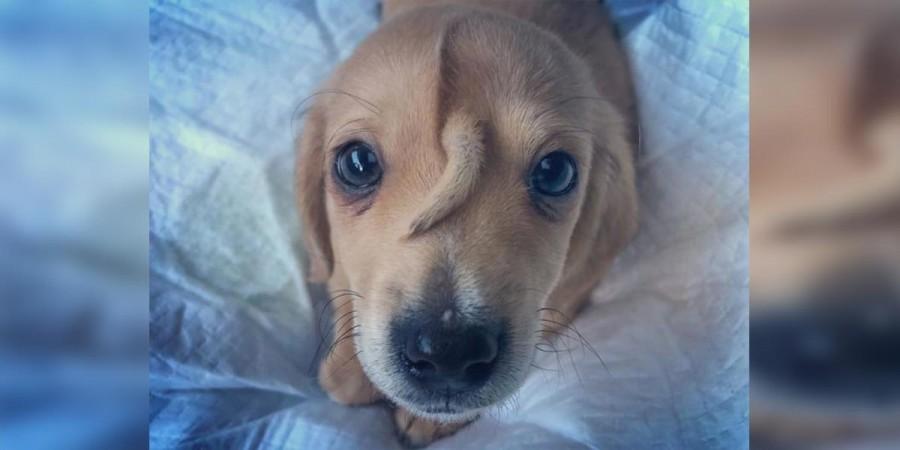 Zachráněné štěně má druhý ocásek rostoucí z hlavy