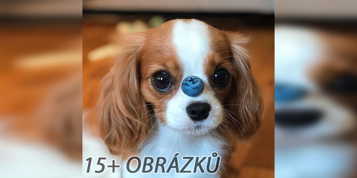 Nejmenší pes na světě? Tenhle drobeček už více nevyroste