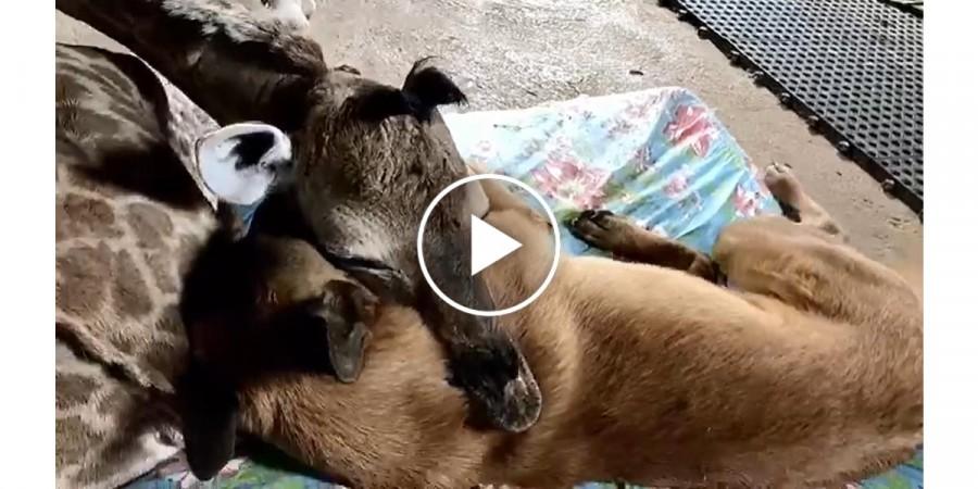 Úžasné video: žirafa jako nejlepší přítel psa