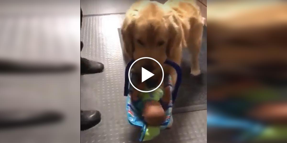 Zlatý retrívr na policejní stanici ukradl dítě, ale všechno bylo trochu jinak...