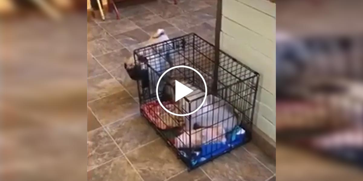 Chytrý mopslík přišel na to, jak zachránit svou sestru z klece