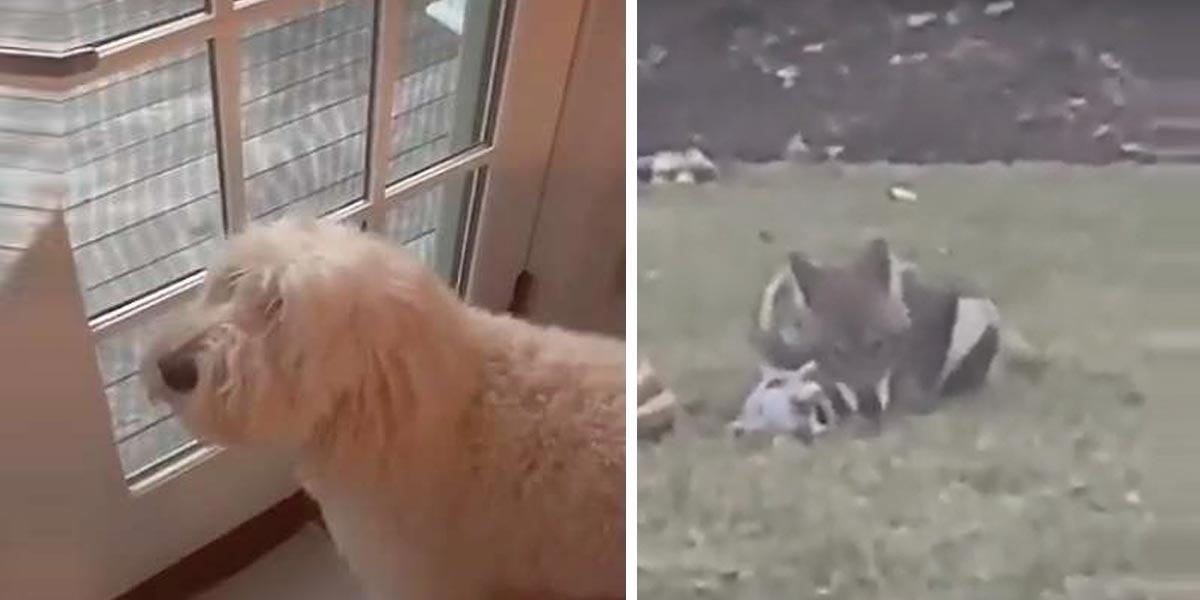 Smutný pes sledoval, jak si s jeho zapomenout hračkou na zahradě hraje divoký kojot