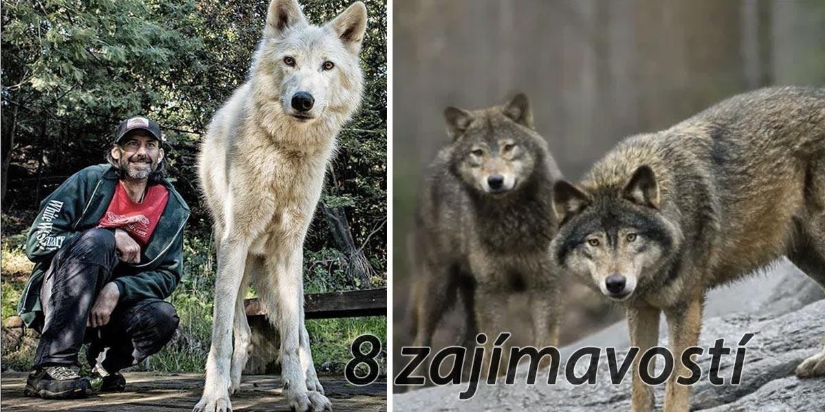 Chovatel vlků se podělil o seznam vlčího chování, které byste asi znát nechtěli