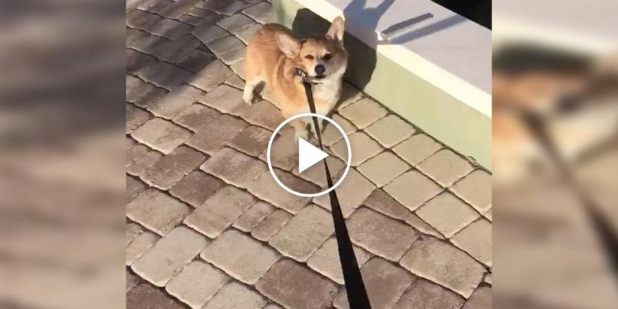 Tvrdohlavý corgi odmítá připustit, že psí park už je blízko... Co pomůže?