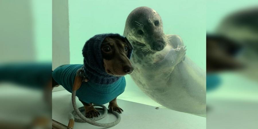 Jezevčík a mládě tuleně se překvapivě vzájemně velmi oblíbili