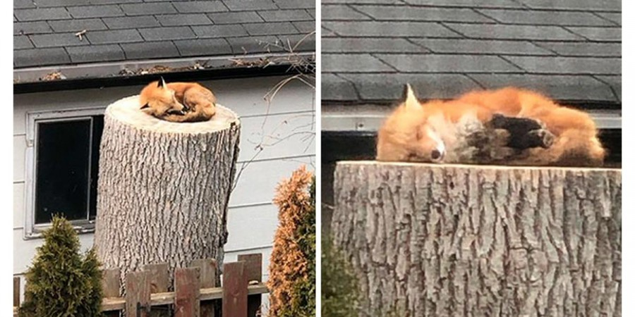 V karanténě vás nic nepotěší více než spící divoká liška za vaším oknem...